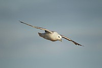 Northern Fulmar Fulmarus glacialis adult, in flight, gliding on sea breeze, Fair Isle, Shetland Islands, Scotland, July