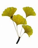 Green Ginkgo Leaves on Branch on White Background