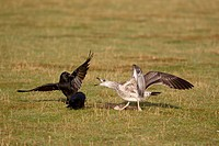Herring Gull Larus argentatus juvenile, chasing Carrion Crow Corvus corone two adults, from dead European Rabbit Oryctolagus cunniculus, Suffolk, Engl...