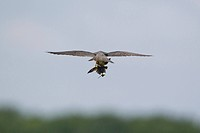Eurasian Hobby Falco subbuteo adult, in flight, feeding on House Martin Delichon urbica prey, Suffolk, England, August