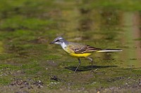 Spanish Wagtail Motacilla flava iberiae adult male, foraging on mud, Castilla y Leon, Spain, may