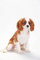 Cavalier King Charles Spaniel, puppy, blenheim, 5 months