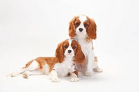 Cavalier King Charles Spaniel, puppies, blenheim, 5 months