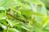 Beautiful Demoiselle Calopteryx virgo adult female, with missing leg, resting on leaf, River Whiteadder, Berwickshire, Scottish Borders, Scotland, jul...