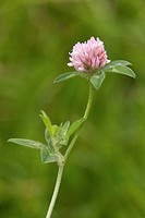 Red Clover Trifolium pratense close_up of flowerhead, Berwickshire, Scottish Borders, Scotland, august