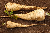 Parsnip Pastinaca sativa ´Javelin F1´ variety, freshly dug roots, Powys, Wales, January