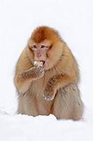 Barbary Monkey / Macaca sylvanus, Macaca sylvana / Barbary Ape