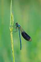 Banded Demoiselle, male, North Rhine_Westphalia, Germany / Calopteryx splendens, Agrion splendens