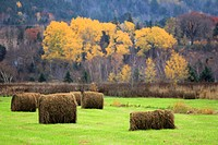 a field of hay bales in the Annapolis valley of Nova Scotia Canada