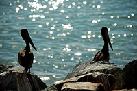 Brown pelicans, California