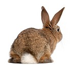 Rear view of a rabbit