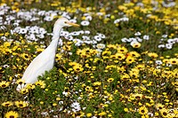 Cattle Egret, Namaqualand, South Africa