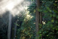 Scenic image of Redwood National Park, CA.