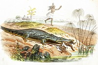 Crocodile hunting a child  Antique illustration, 1856