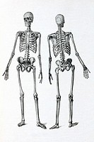 Human skeleton  Antique illustration, 1936