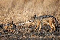 Black-backed Jackals Canis mesomelas playing with a feather, Serengeti National Park, Tanzania