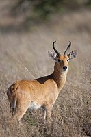male Bohor Reedbuck Redunca redunca standing in savannah, Serengeti National Park, Tanzania
