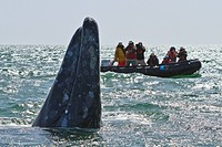 California gray whale Eschrichtius robustus and excited whale watchers, San Ignacio Lagoon, Baja California Sur, Mexico, North America