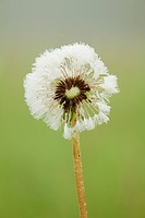 Dandelion Puff Covered With Dew, Thunder Bay Ontario Canada