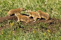 Young prairie dogs venture out for one of the first times badlands national park, south dakota united states of america