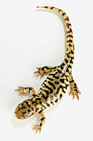 Tiger salamander on white background, alberta canada
