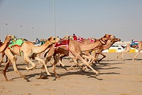 Racing camels with a robot jockeys, Doha Qatar