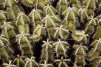 Euphorbiaceae, Jardín de Cactus, Lanzarote, Canary islands, Spain