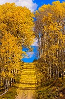 A grove of aspen trees in autumn on a road on Wilson Mesa in the San Juan Mountains, near Telluride, Colorado USA