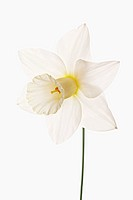 Narcissus cultivar, Daffodil, White subject, White background.