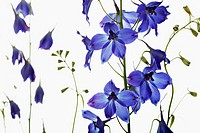 Delphinium 'Blue Bees', Delphinium, Blue subject, White background