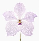 Vanda coerulea cultivar, White subject, White background.