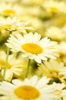 Argyranthemum frutescens ´Butterfly´, Daisy, Marguerite daisy, Yellow subject.