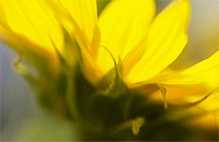 Helianthus annuus, Sunflower, Yellow subject.
