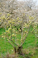 Ile de France, Vernouillet orchard in springtime