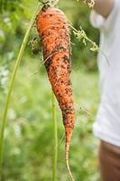 Carrot that has just been pulled out of the ground.