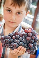 Six year old boy holding freshly cut grapes that have been grown in a conservatory in England.