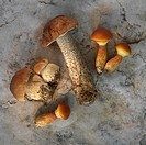 Wild mushrooms larch boletes, porcini mushrooms and birch boletes