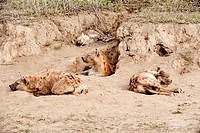Spotted hyenas Crocuta crocuta at their den. This is the largest and most powerful of all the hyenas. It lives alone or in family groups, feeding on t...