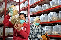 Oil palm plantation research. Workers with washed and dried oil palm Elaeis guineensis seeds at a plantation, in Sumatra, Indonesia. These seeds will ...
