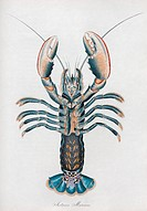 Lobster. 19th_century artwork of the underside of a lobster named here as Astacus marinus, now known as Homarus gammarus or the common European lobste...