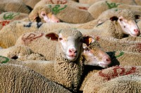 Alpine sheep farm. Flock of sheep in the vallee de la Romanche, Massif de l´Oisans, French Alps.
