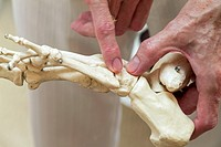 Physiotherapy. Physiotherapist using a model of the bones of the left foot to demonstrate the tarsometatarsal joint. This joint is where the cuboid bo...