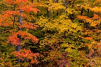 Fall foliage color in the trees of the deciduous forests of the Upper Penninsula, Michigan, USA
