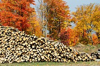 A pile of logs with fall foliage color from logging operations near Paulding, Michigan, USA