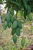 Mango cultivation , India