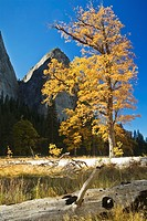 Yosemite Valley, Yosemite National Park, California, USA, meadow with black oaks Quercus kelloggii, pines, Cathedral Rocks and The Gunsight notch in b...