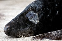 Grey seal / gray seal Halichoerus grypus close up of eye