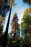 Mariposa Grove ; U.S.A. United States of America