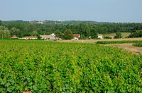the vineyard of Sauternais in summer