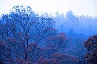 Blue tree with pink flower at Pukara Lake , Ooty , Ootacamund , Tamil Nadu , India